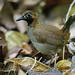 Black-faced Antthrush (Formicarius analis)