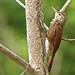 Trepador Pico de Lanza, Straight-billed Woodcreeper (Dendroplex picus) (Xiphorhynchus picus)