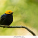 Golden-headed Manakin - Peru