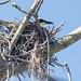 Boat-billed Flycatcher on nest