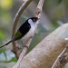 Pin-tailed Manakin (Ilicura militaris) - male
