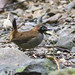 Black-faced Antthrush_28A8827