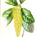 Lanterneira (Lophanthera lactescens)