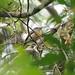 Rufous-capped Nunlet (Nonnula ruficapilla), Moyobamba, Peru