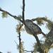 Stiolated Puffbird (Nystalus striolatus), Morra de Calzada, Moyobamba, Peru