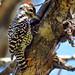 Carpinterito (Veniliornis lignarius) / Chile