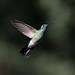 White-vented Violetear - beija-flor-de-orelha-violeta (Colibri serrirostris)