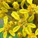 Lophantera lactescens  (chuva-de-ouro-da-amazônia)