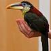 Curl-crested Aracari (National Aviary)
