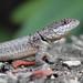 Peters' Lava Lizard