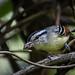 Chorozinho-de-asa-vermelha macho (Herpsilochmus rufimarginatus) Rufous-winged Antwren male