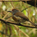 Rufous-capped Nunlet (Nonnula ruficapilla)