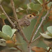 Tawny-crowned Pygmy Tyrant