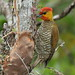 Pica-pau-bufador (male) / Yellow-throated Woodpecker / Piculus flavigula (Boddaert, 1783)