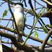 Kappenbekarde (Xenopsaris albinucha)