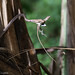 Brown vine-snake (Oxybelis aeneus) predating upon an anole (Norops sp.)