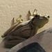 Trachycephalus mesophaeus ( Hylidae ) REGUA BR 20190203