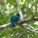 Pavonine Quetzal