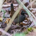 ANTTHRUSH, Black-faced