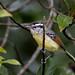Rufous-winged antwren/Chorozinho-de-asa-vermelha/Tiluchí ala rojiza (Herpsilochmus rufimarginatus) male
