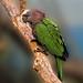 """""""Hawk Head, Parrot Color"""""""