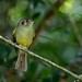 Sepia-capped flycatcher/Cabeçudo/Mosquero corona parda (Leptopogon amaurocephalus)