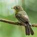 Assanhadinho - Myiobius barbatus