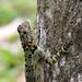 Collared Tree Lizard