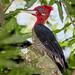 Pica-pau-rei (Campephilus robustus) macho