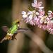 topetinho-vermelho (Lophornis magnificus)