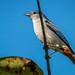 figuinha-de-rabo-castanho (Conirostrum speciosum)