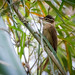 trepador-coleira (Anabazenops fuscus)