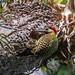 pica-pau-verde-barrado (Colaptes melanochlorus)