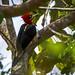pica-pau-rei (Campephilus robustus)