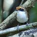 Female White-browed Antbird