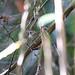 White-crested Spadebill
