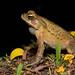Yellow Cururu Toad (Rhinella icterica)