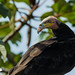 Urubu à tête jaune - Cathartes burrovianus - Lesser Yellow-headed Vulture