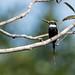 Paradise jacamar/Ariramba-do-paraíso/Jacamará colilargo (Galbula dea)