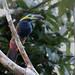 Golden-collared toucanet (green-billed)/Saripoca-de-coleira/Tucancillo de collar dorado (Selenidera reinwardtii langsdorffii) male