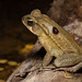 Yellow Cururu Toad oozing poison (Rhinella icterica)