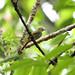 Rufous-tailed Flatbill