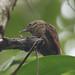 Plain Xenops - Xenops minutus - Naranjito,, Puntarenas, Costa Rica - June 20, 2019
