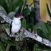 Black-tailed Tityra/Anambé-de-rabo-preto/Titira colinegro  (Tityra cayana) female