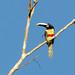 Black-necked Aracari/Araçari-de-bico-branco/Arasarí cuellinegro (Pteroglossus aracari)