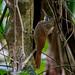 Spix's Woodcreeper/Arapaçu-de-spix/Trepatroncos de Spix  (Xiphorhynchus spixii)