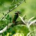 Selenidera culik 03-07-08