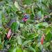 Rusty-margined Guan (Penelope superciliaris)