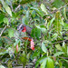 Rusty-margined Guan (Penelope superciliaris) eating small fruits ...