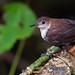 Microcerculus marginatus - Scaly-breasted Wren - Cucarachero Ruiseñor Sureño - Cucarachero Ruiseñor 01